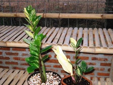 zamia-variegata