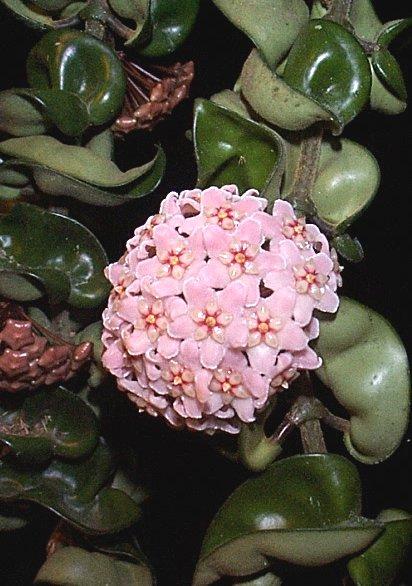 nama latin Hoya carnosa . Morfologi tanamannya yaitu tanaman merambat